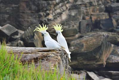 Pretty Cockatoo Photograph - Cockatoos by FL collection