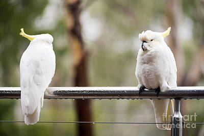 Animals Photos - Cockatoos In Rain by THP Creative