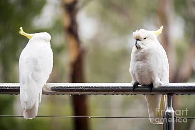 Pretty Cockatoo Photograph - Cockatoo's In Rain by Tim Hester