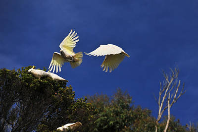 Pretty Cockatoo Photograph - Cockatoos On The Wing by Harry Spitz