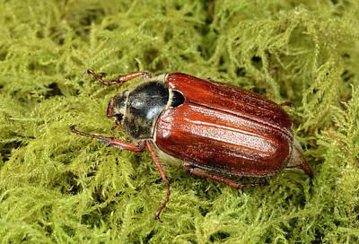 Arthropoda Photograph - Cockchafer by Nigel Downer