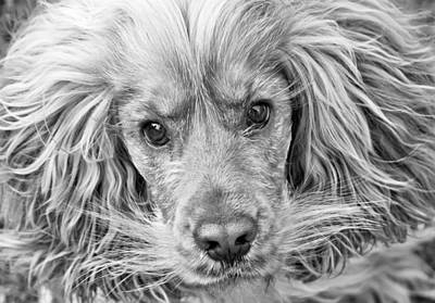 Photograph - Cocker Spaniel Dog Black And White by Brch Photography
