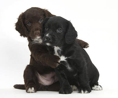 House Pet Photograph - Cocker Spaniel Puppies by Mark Taylor