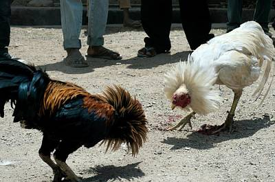 Rooster Photograph - Cockfighting by Louise Murray/science Photo Library