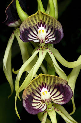 Black Orchids Photograph - Cockleshell Orchid Or Clamshell Orchid by Nigel Downer