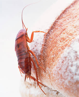 Cockroach On Bread Art Print by Gustoimages/science Photo Library
