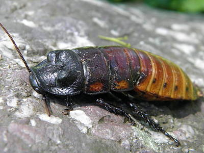 Photograph - Cockroach by William Haggart