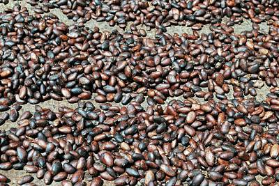 Photograph - Cocoa Beans by Gary Wonning