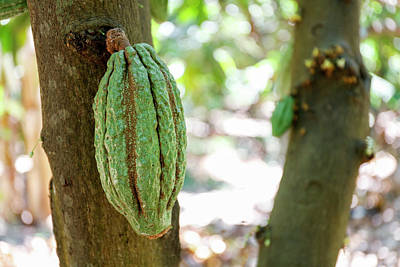 Agricultural Industry Wall Art - Photograph - Cocoa Fruit Growing On A Cocoa Tree (theobroma Cacao) by Michael Szoenyi/science Photo Library