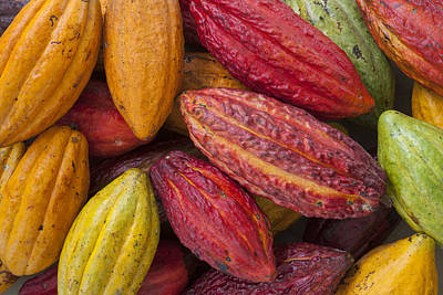 Photograph - Cocoa Fruits Brazil by Ingo Arndt