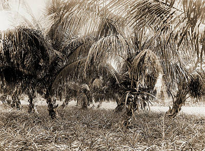 Pineapple Drawing - Cocoanuts And Pineapples, Lake Worth, Fla, Jackson, William by Litz Collection