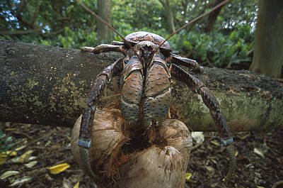 Hermit Crab Photograph - Coconut Crab Eating Palmyra Atoll by Tui De Roy