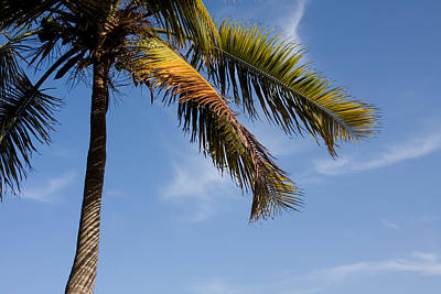 Sky Photograph - Coconut Palm by Jared Shomo