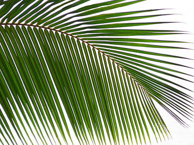 Photograph - Coconut Palm Leaf by Anuj Nair