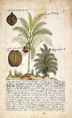 East Indian Photograph - Coconut Palm Tree by British Library