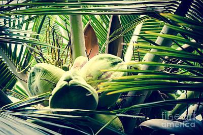 Photograph - Coconut Poetry - Cocos Nucifera - Maui Hawaii by Sharon Mau