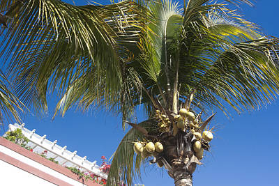 Tyree Photograph - Coconut Tree by Peter Lloyd