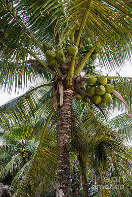 Photograph - Coconut Tree by Suzanne Luft