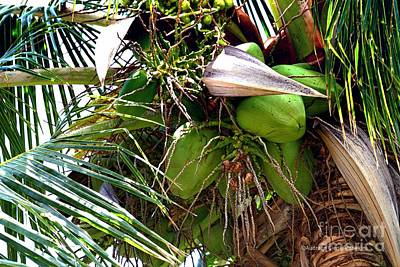 Photograph - Coconuts by Audreen Gieger