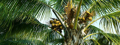 Tropical Fruit Photograph - Coconuts On A Palm Tree, Varadero by Panoramic Images