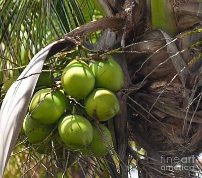 Coconuts Proliferate Art Print by Michelle Wiarda