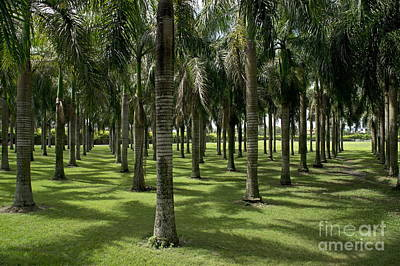 Coconuts Trees In A Row Print by Sami Sarkis