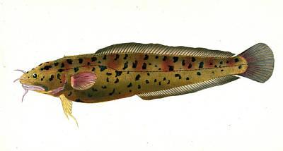 Cod, Three-beared, Gadus Tricirratus, British Fishes Art Print