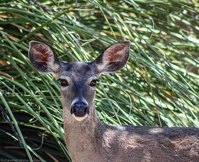 Art Print featuring the photograph Coes Deer by Elaine Malott
