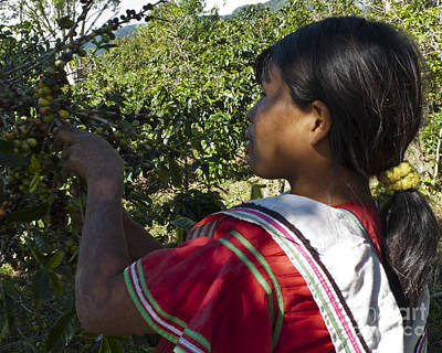 Coffee Plant Photograph - Coffee Harvest Time 3 by Heiko Koehrer-Wagner