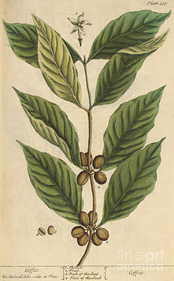 Photograph - Coffee-medicinal Plant-1737 by Science Source