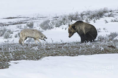 Confrontation In Hayden Valley Art Print by Bob Dowling