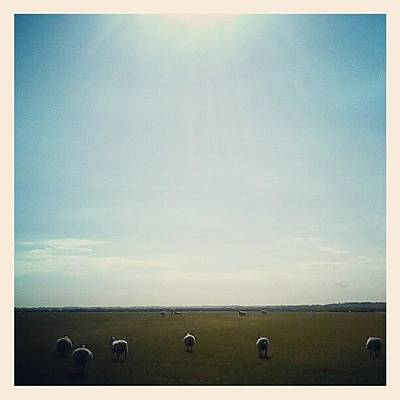 Sheep Photograph - Colchester by Lindsay Scott
