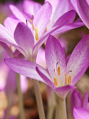Photograph - Colchicum Curves by Gill Billington