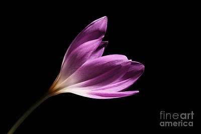 Art Print featuring the photograph Colchicum  by Judy Whitton