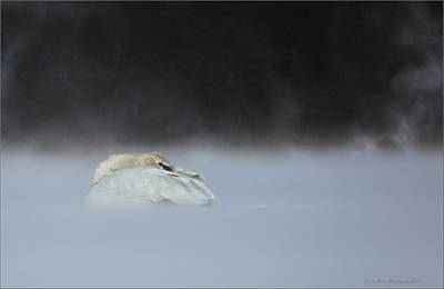 Photograph - Cold And Blustery Swan by Daniel Behm