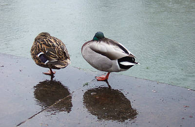 Crappy Photograph - Cold And Rainy Weather Two Ducks Taking A Nap by Matthias Hauser
