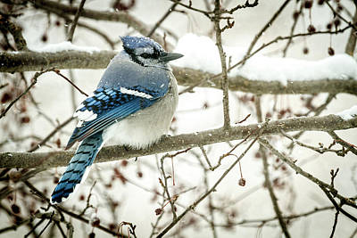 Photograph - Cold Blue Jay by Scott Bean