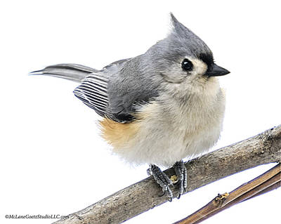 Titmouse Photograph - Cold But Tough Titmouse by LeeAnn McLaneGoetz McLaneGoetzStudioLLCcom