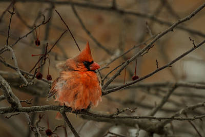 Photograph - Cold Cardinal by Scott Bean