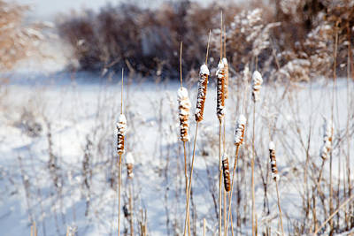 Cold Cattails Art Print