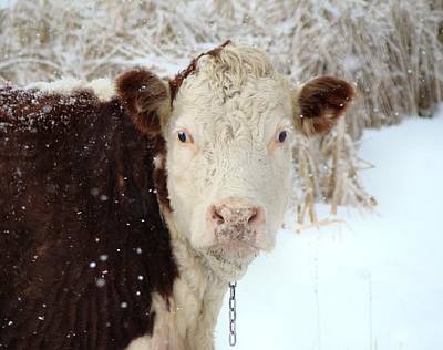 Cow Images Photograph - Cold Cow by Gothicrow Images