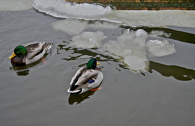Drake Photograph - Cold Ducks by Odd Jeppesen