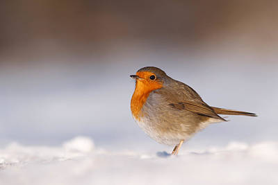 Cold Fee Warm Light Robin In The Snow Print by Roeselien Raimond