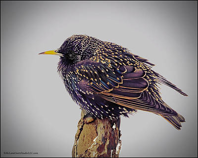Starlings Photograph - Cold Starling by LeeAnn McLaneGoetz McLaneGoetzStudioLLCcom