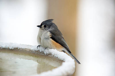 Tufted Titmouse Photograph - Cold Titmouse At The Watering Hole by Douglas Barnett