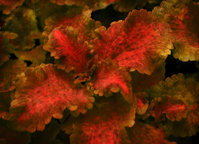Photograph - Coleus 3 by Deena Stoddard