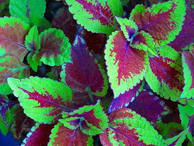 Photograph - Coleus Color by MTBobbins Photography