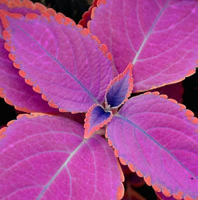 Photograph - Coleus by Deena Stoddard
