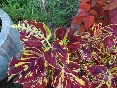 Photograph - Coleus In Blossom by Rod Ismay