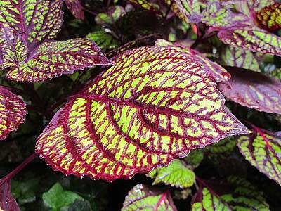 Photograph - Coleus Leaf by MTBobbins Photography